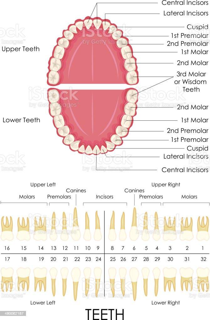 Human Dental Anatomy vector art illustration
