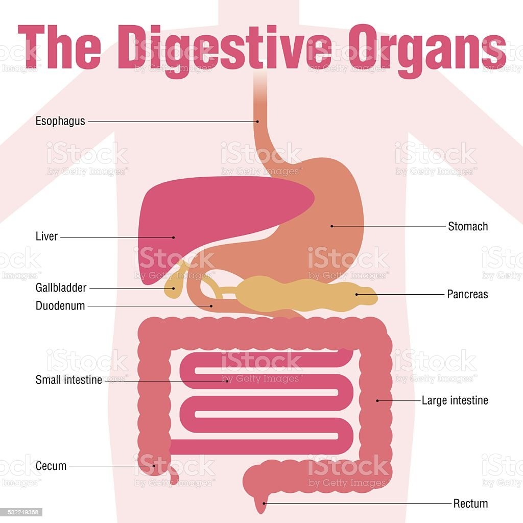 human digestive organs, simplified illustration and name of each organ vector art illustration