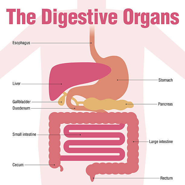 human digestive organs, simplified illustration and name of each organ human digestive organs, simplified illustration and name of each organ bile stock illustrations