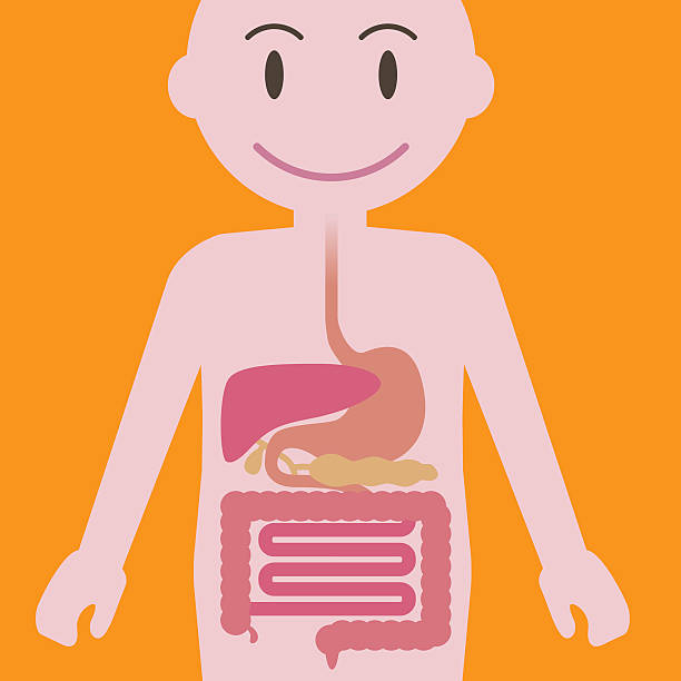 Human Digestive Organs Simplified Ilration Vector Art