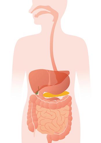 human digestive organs, vector illustration