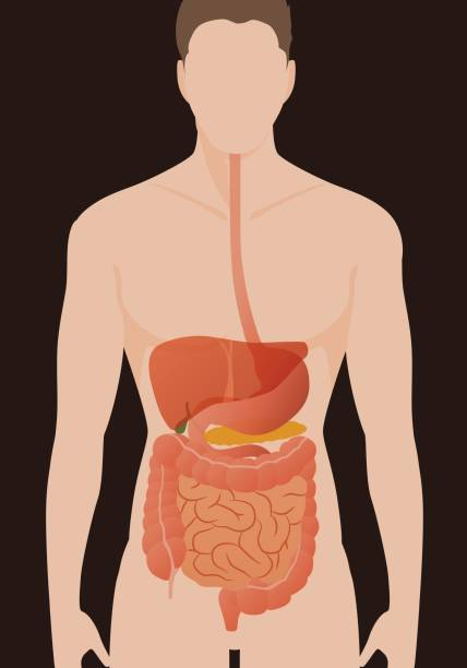 human digestive organs, vector illustration vector art illustration