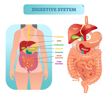 Human digestive system anatomical vector illustration diagram with inner organs.