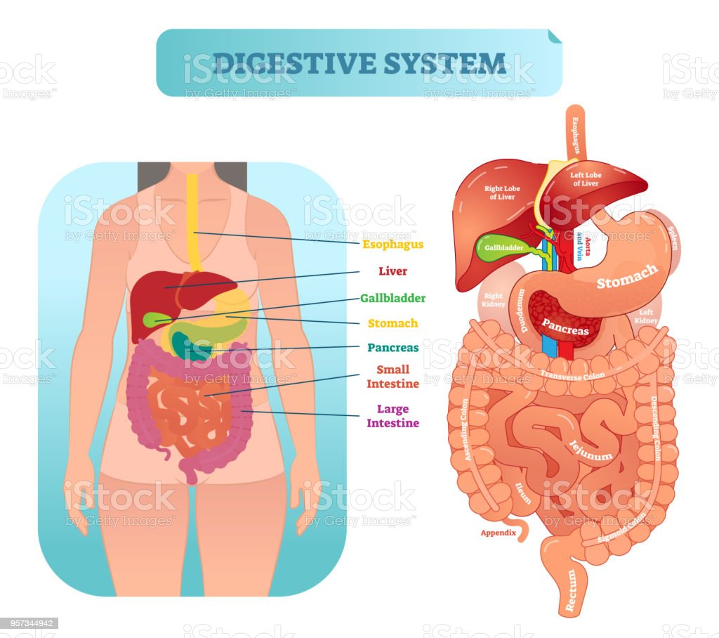 Human digestive system anatomical vector illustration diagram with inner organs. vector art illustration