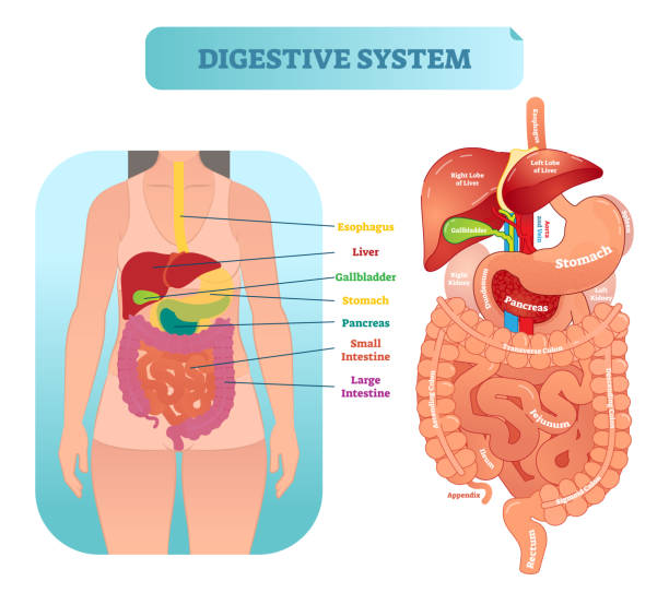 Human digestive system anatomical vector illustration diagram with inner organs. Human digestive system medical anatomical vector illustration diagram with inner organs. Female patient. Medical information labeled poster. abdomen stock illustrations