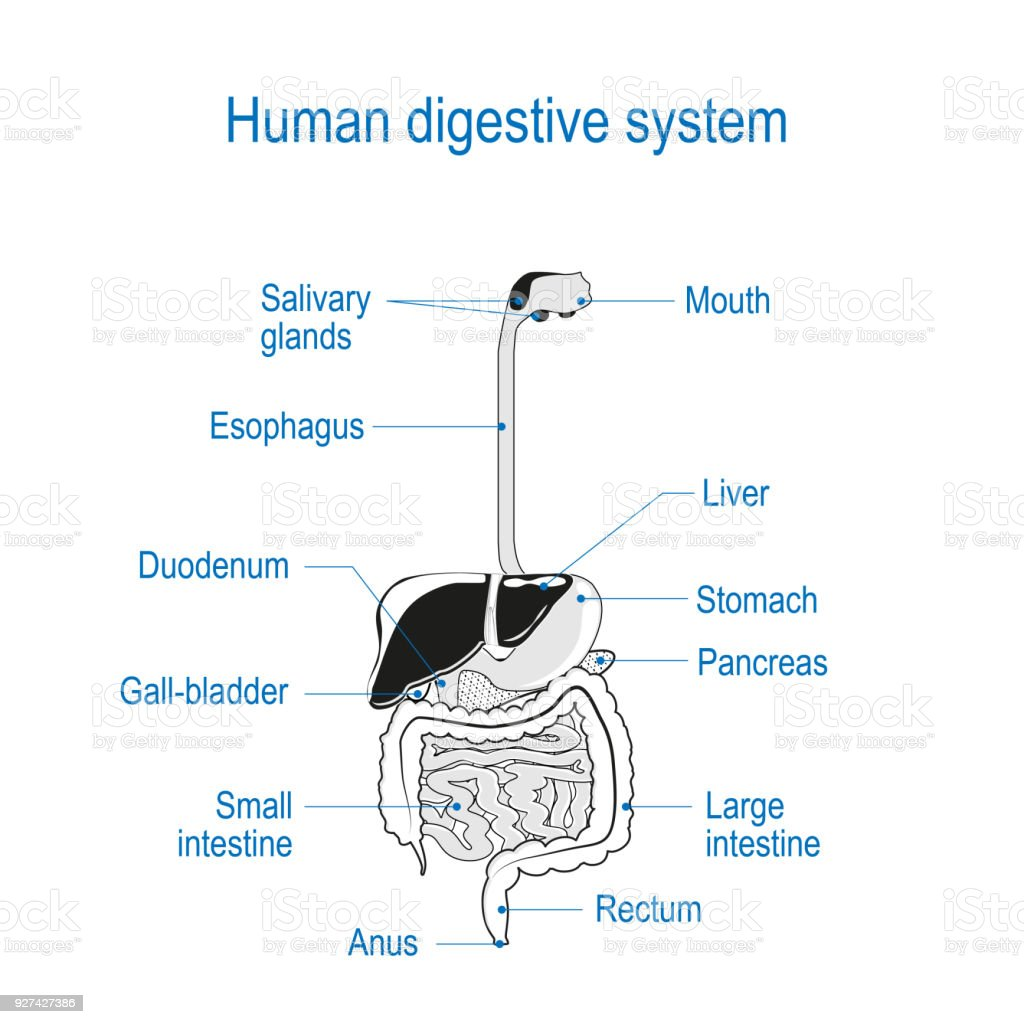 Human digestive system black and white vector stock vector art human digestive system black and white vector royalty free human digestive system black ccuart Choice Image