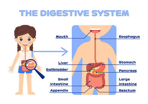 Human Digestive System for Education Children. Beautiful little Firl and the gastrointestinal tract. Flat color cartoon style. White background. Vector.