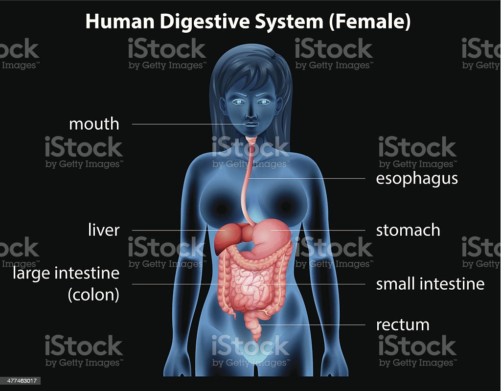 Human Digestive System Stock Vector Art More Images Of Anatomy