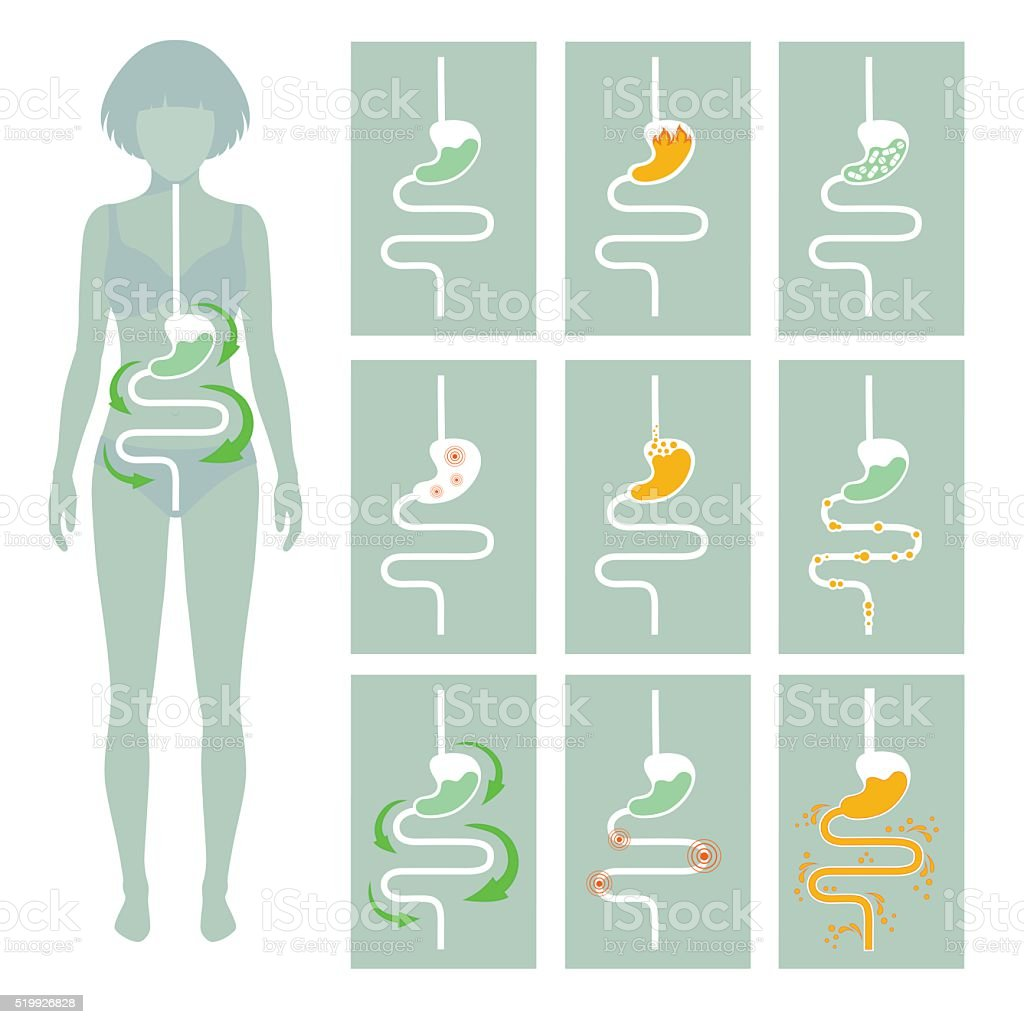 human digestive system, vector art illustration