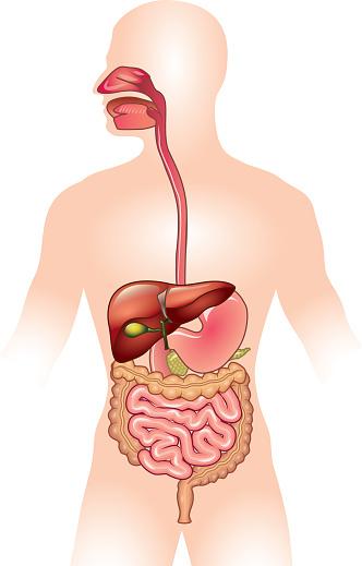 Human digestive system vector illustration