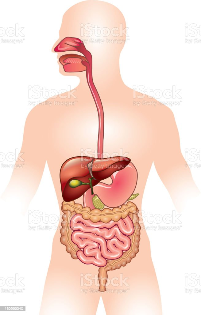 Human digestive system vector illustration vector art illustration
