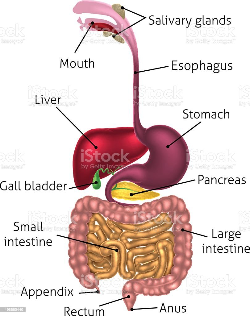 Human Digestive Tract System vector art illustration