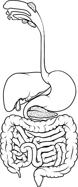Best Human Digestive System Illustrations, Royalty-Free