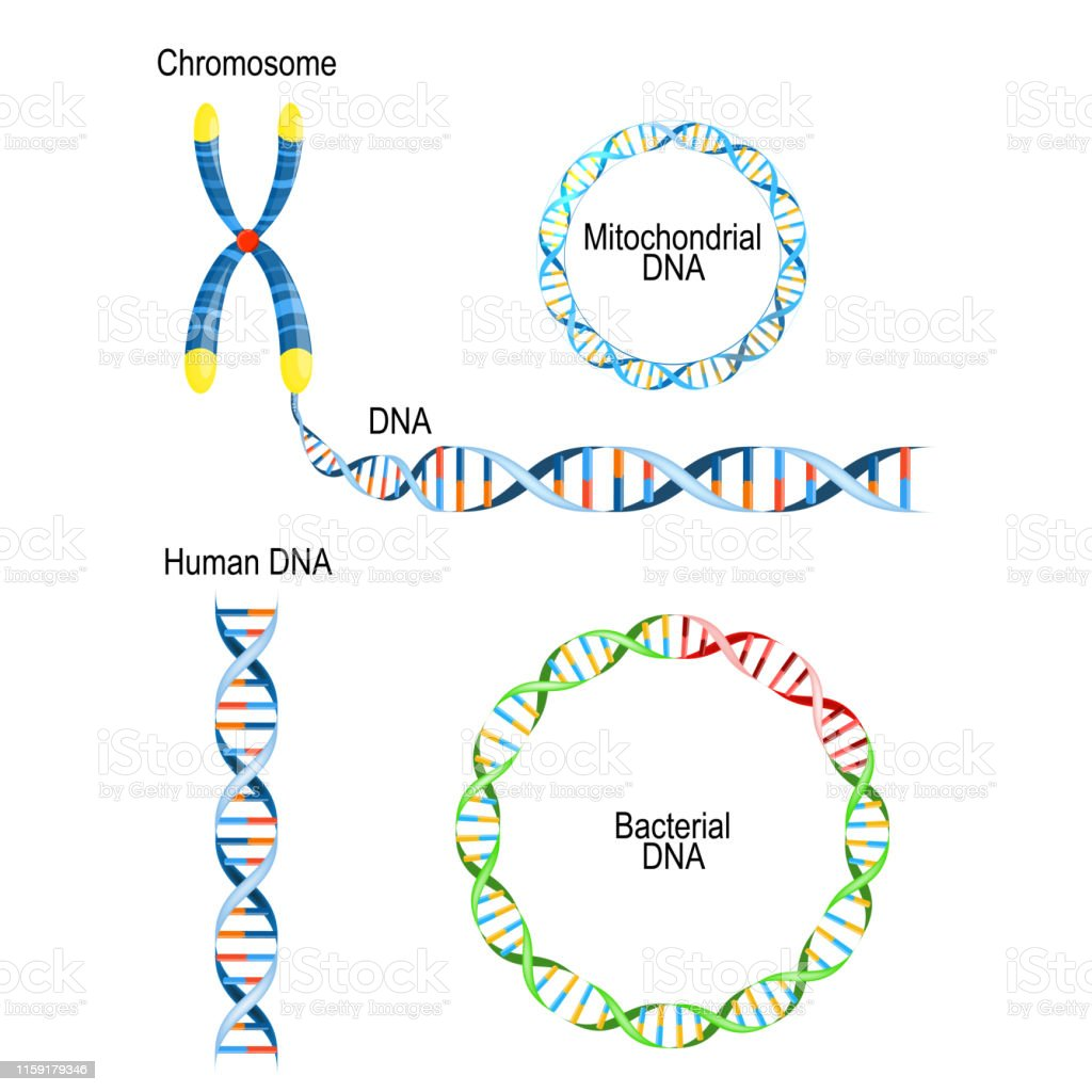 Human Dna Double Helix Circular Prokaryote Chromosome And