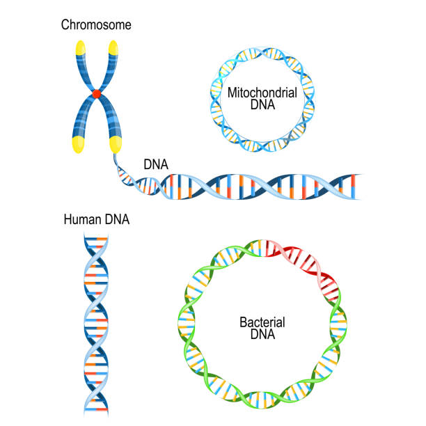 Human DNA - double helix, circular prokaryote chromosome (Bacterial DNA), and Mitochondrial DNA Human DNA - double helix, circular prokaryote chromosome (Bacterial DNA), and Mitochondrial DNA. Types of Deoxyribonucleic acid chromosome stock illustrations
