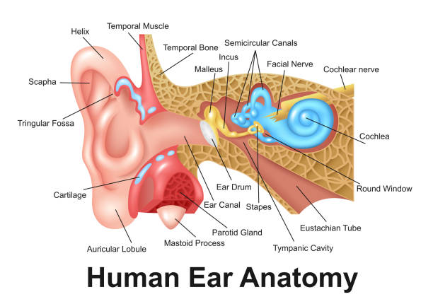 Royalty Free Inner Ear Clip Art Vector Images Illustrations Istock