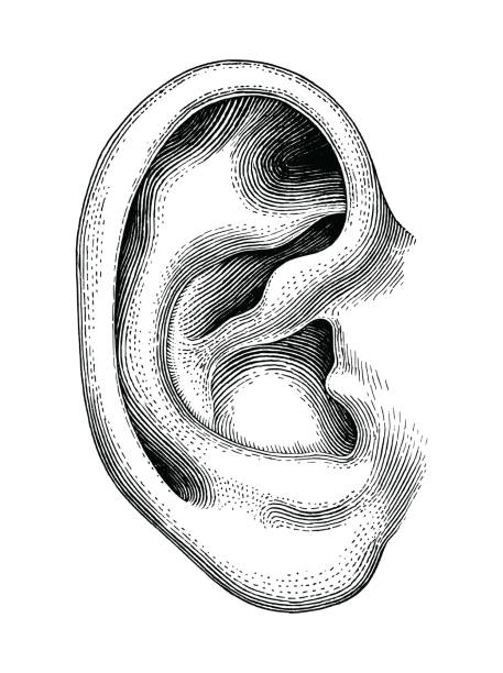 Human ear hand draw vintage clip art isolated on white background Human ear hand draw vintage clip art isolated on white background etching stock illustrations