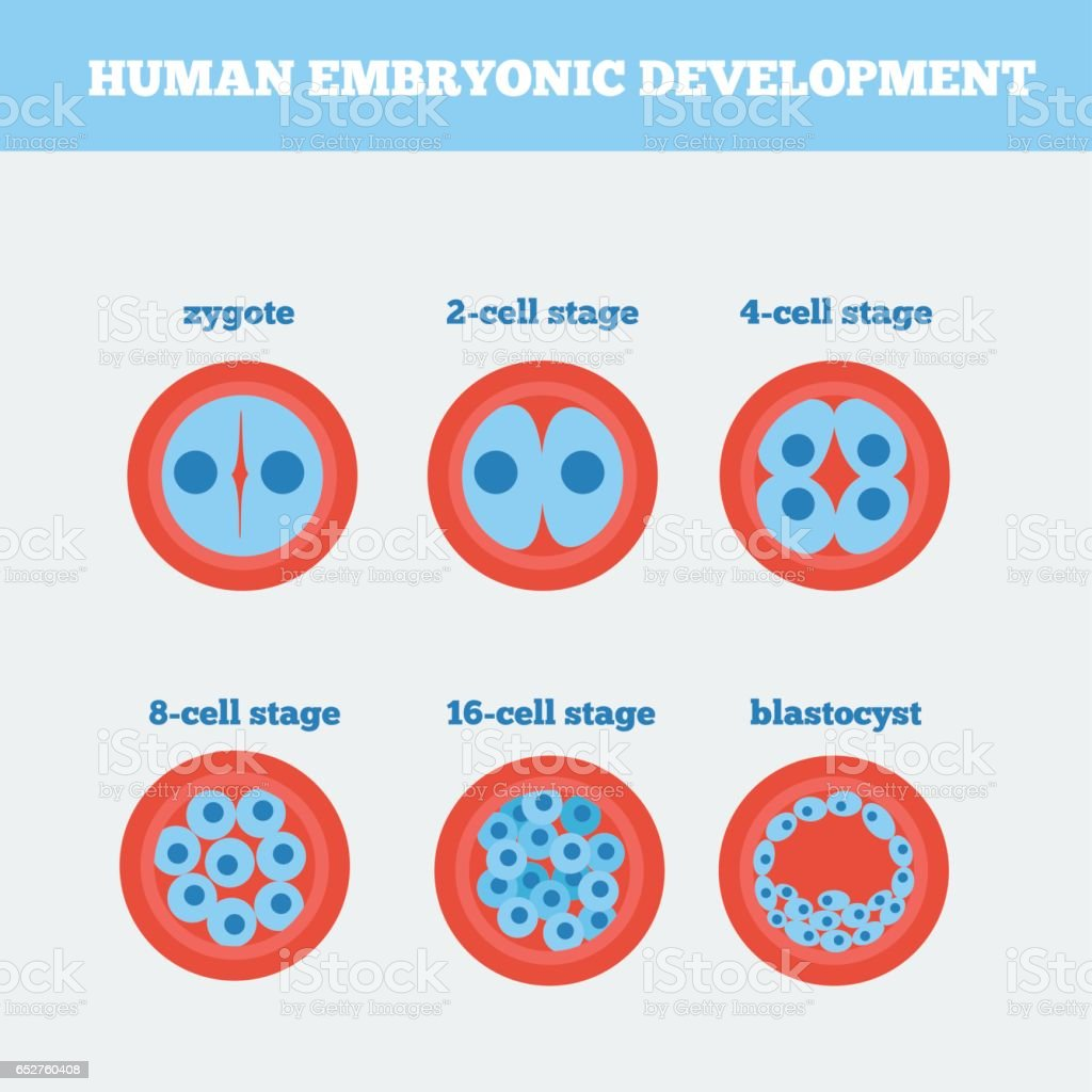 Human embryonic development medical vector illustration. vector art illustration