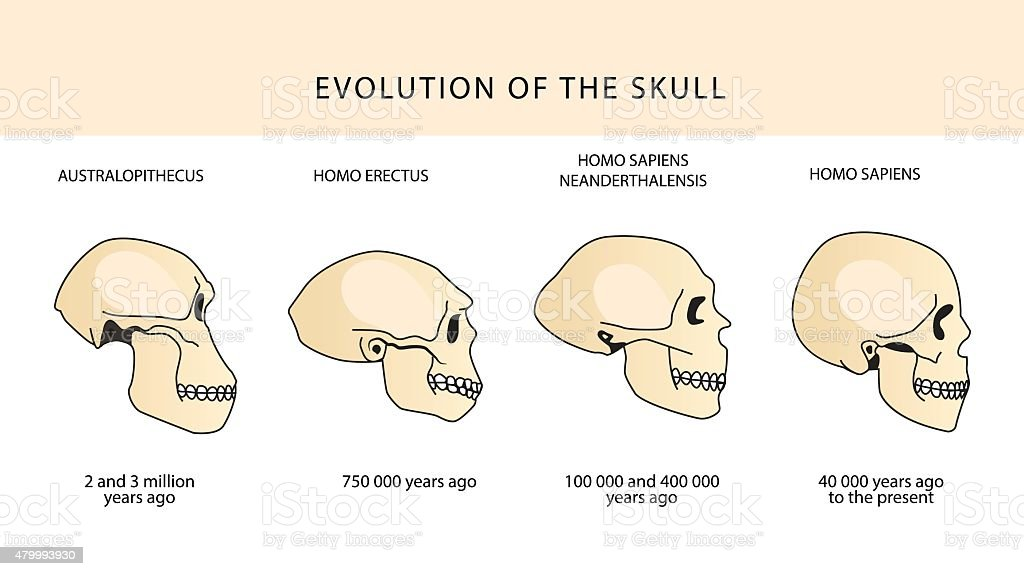Human Evolution Of The Skull And Text With Dating. vector art illustration