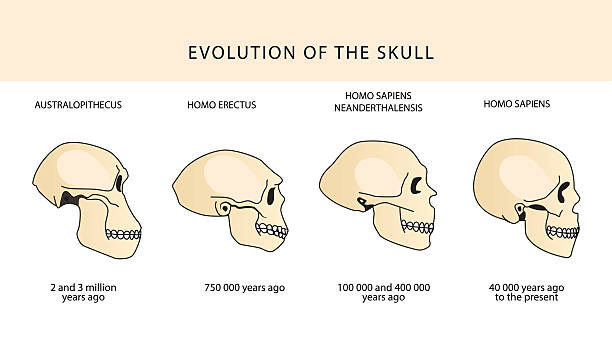 Evolución del cráneo humano. Histórica ilustraciones. - ilustración de arte vectorial