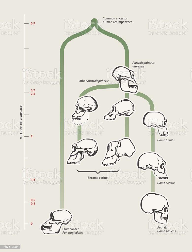 Menschliche evolution (Totenköpfe) – Vektorgrafik