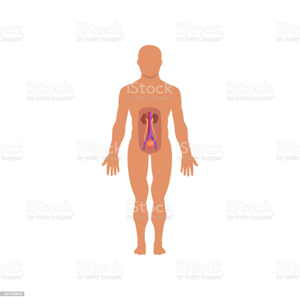 Human Excretory System Anatomy Of Human Body Vector Illustration On