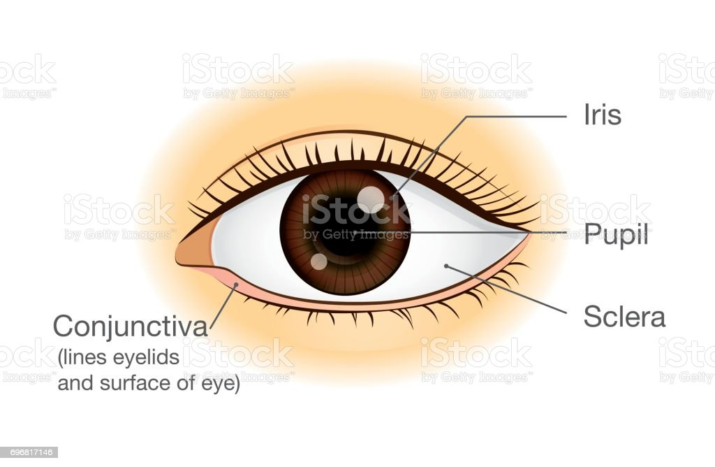 Human Eye Anatomy In Front View Stock Vector Art & More Images of ...