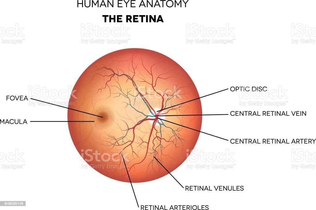 Anatomie Des Menschlichen Auges Netzhaut Stock Vektor Art und mehr ...