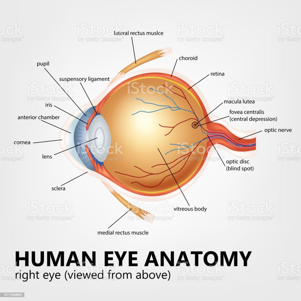 Human eye anatomy, right eye viewed from above vector art illustration