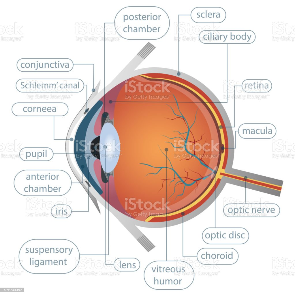 Human Eye Anatomy Vector Design Stock Vector Art & More Images of ...
