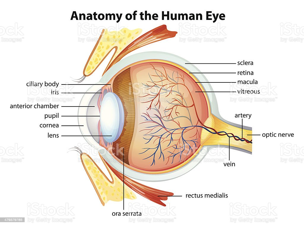 Ilustración de Anatomía De Ojo Humano y más banco de imágenes de ...