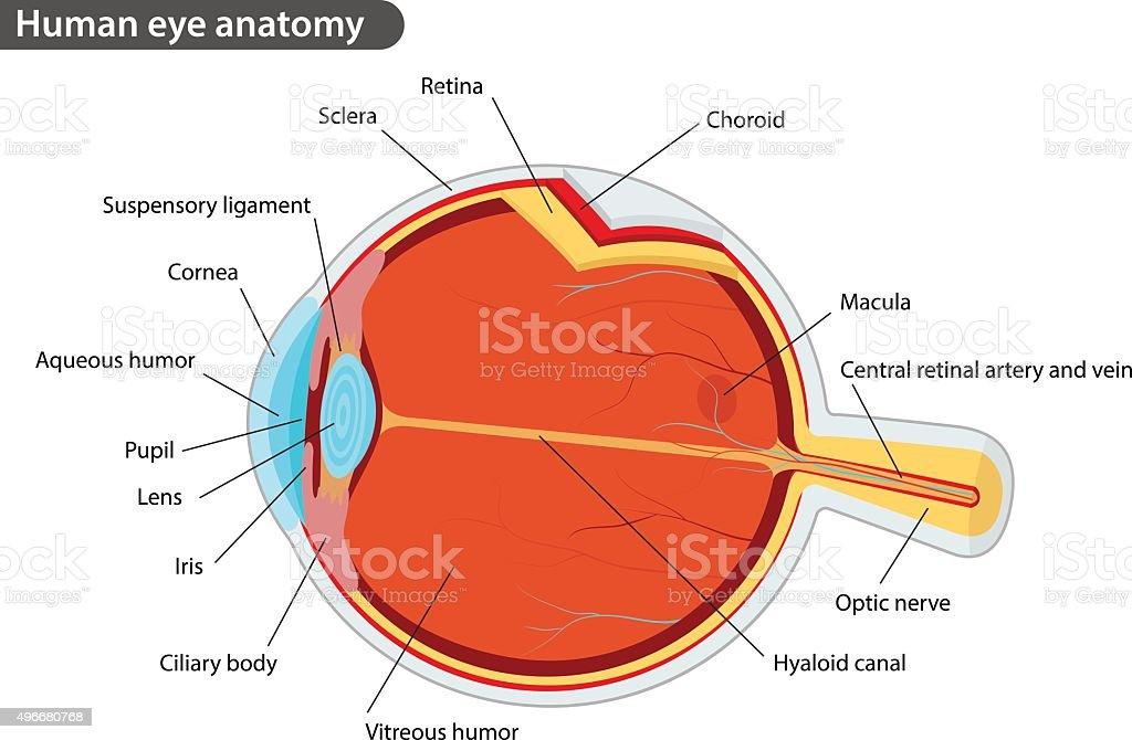 49 Human Eye Anatomy Diagram - Illustration Of Wiring Diagram •
