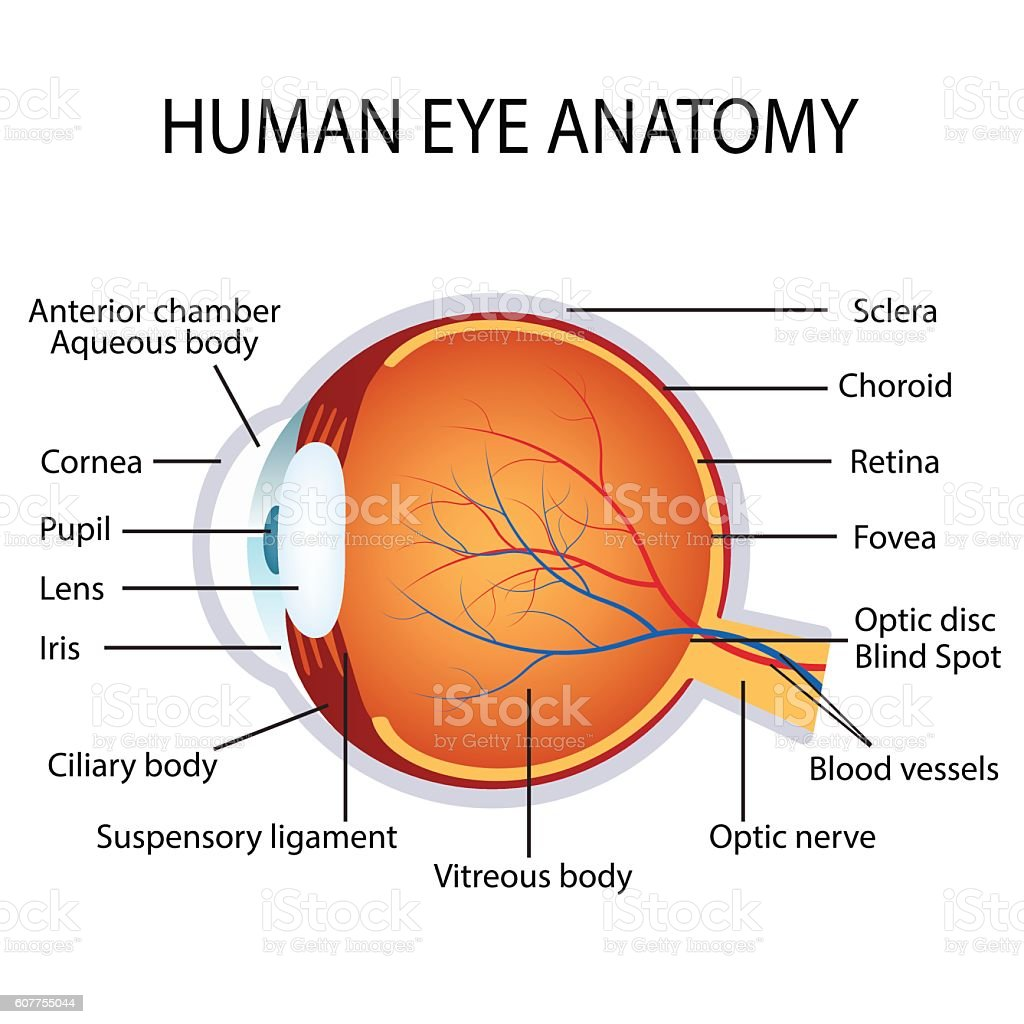 human eye anatomy vector id607755044