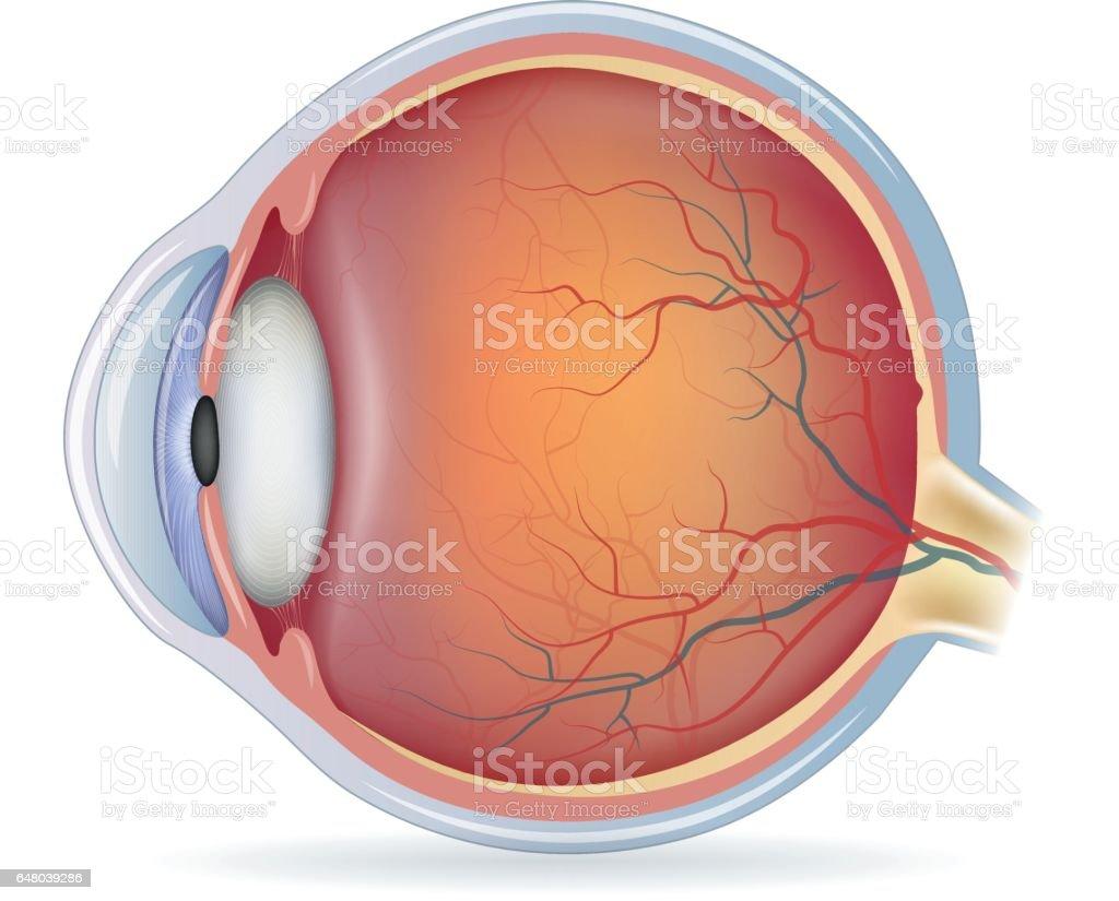 Human Eye Anatomy Stock Vector Art More Images Of Anatomy