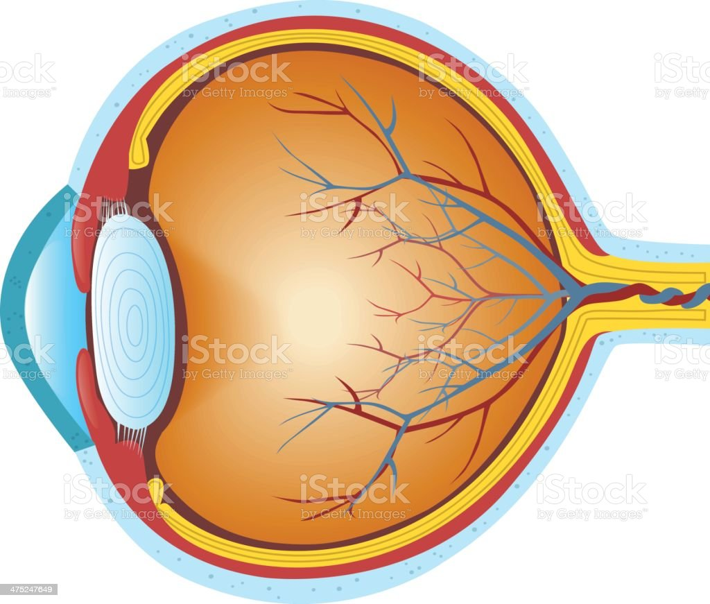 Human eye cross section stock vector art more images of anatomy human eye cross section royalty free human eye cross section stock vector art amp ccuart Image collections