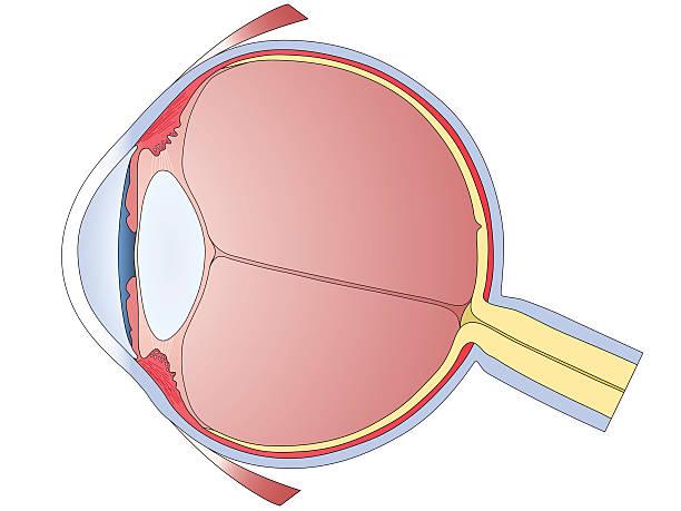 человеческий глаз диаграмма - глазное яблоко stock illustrations