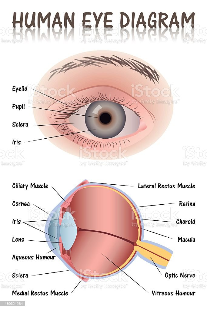 Human Eye Diagram vector art illustration