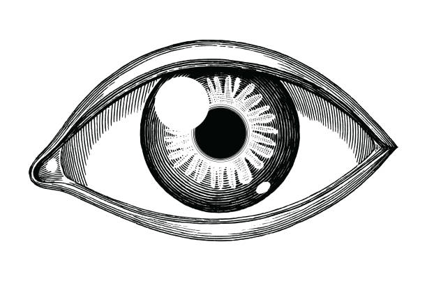 human eye reference hand draw vintage engraving isolated on white background - глазное яблоко stock illustrations