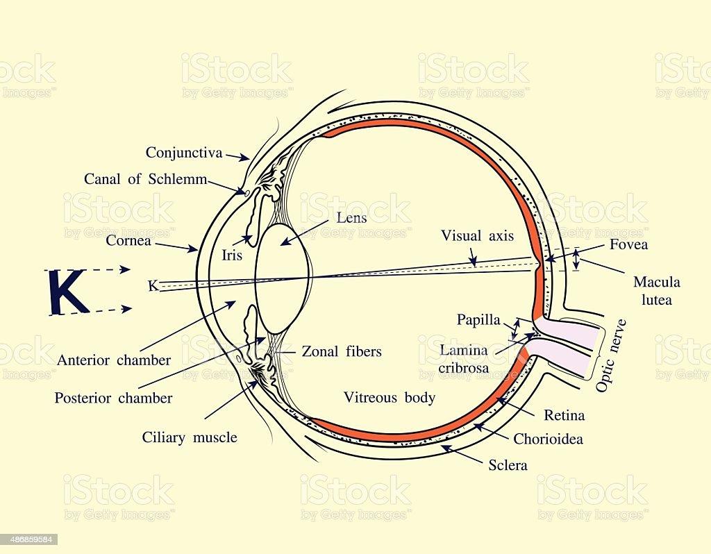 Menschliche Auge System Vektorillustration Stock Vektor Art und mehr ...