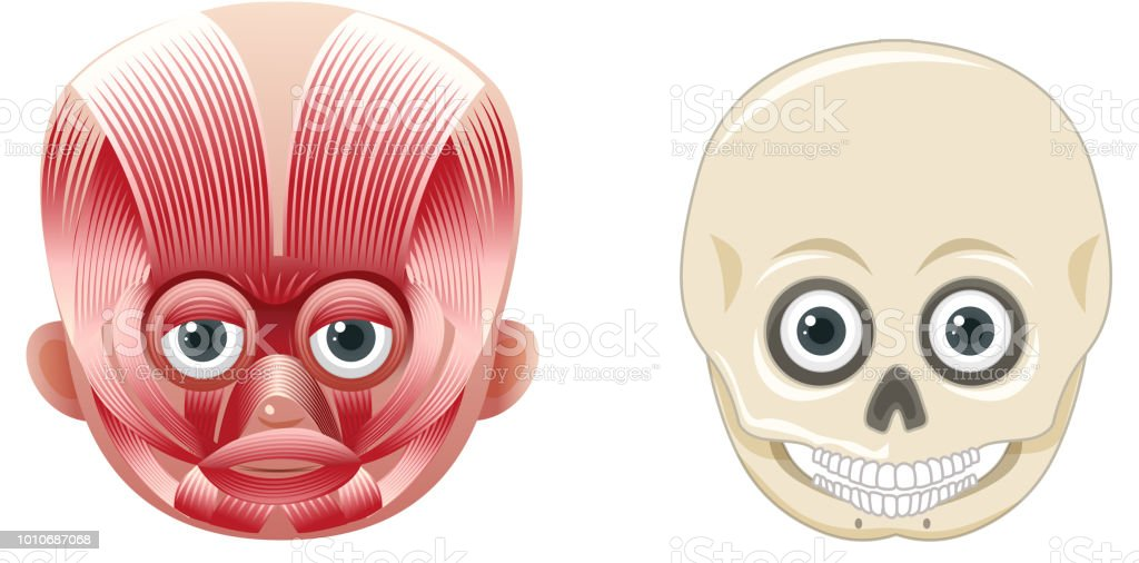 Human Face Anatomy and Skull vector art illustration