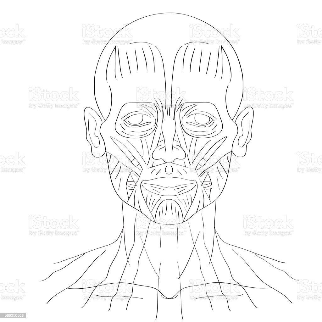 Human Face Muscles Stock Vector Art More Images Of Anatomy