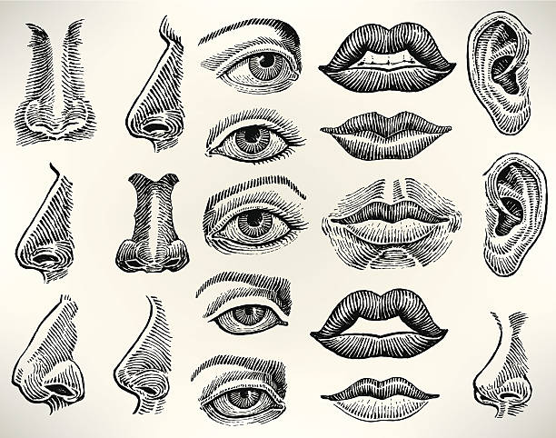 ludzkie funkcje jamy ustnej, oczu, uszu, nosa, - nos stock illustrations