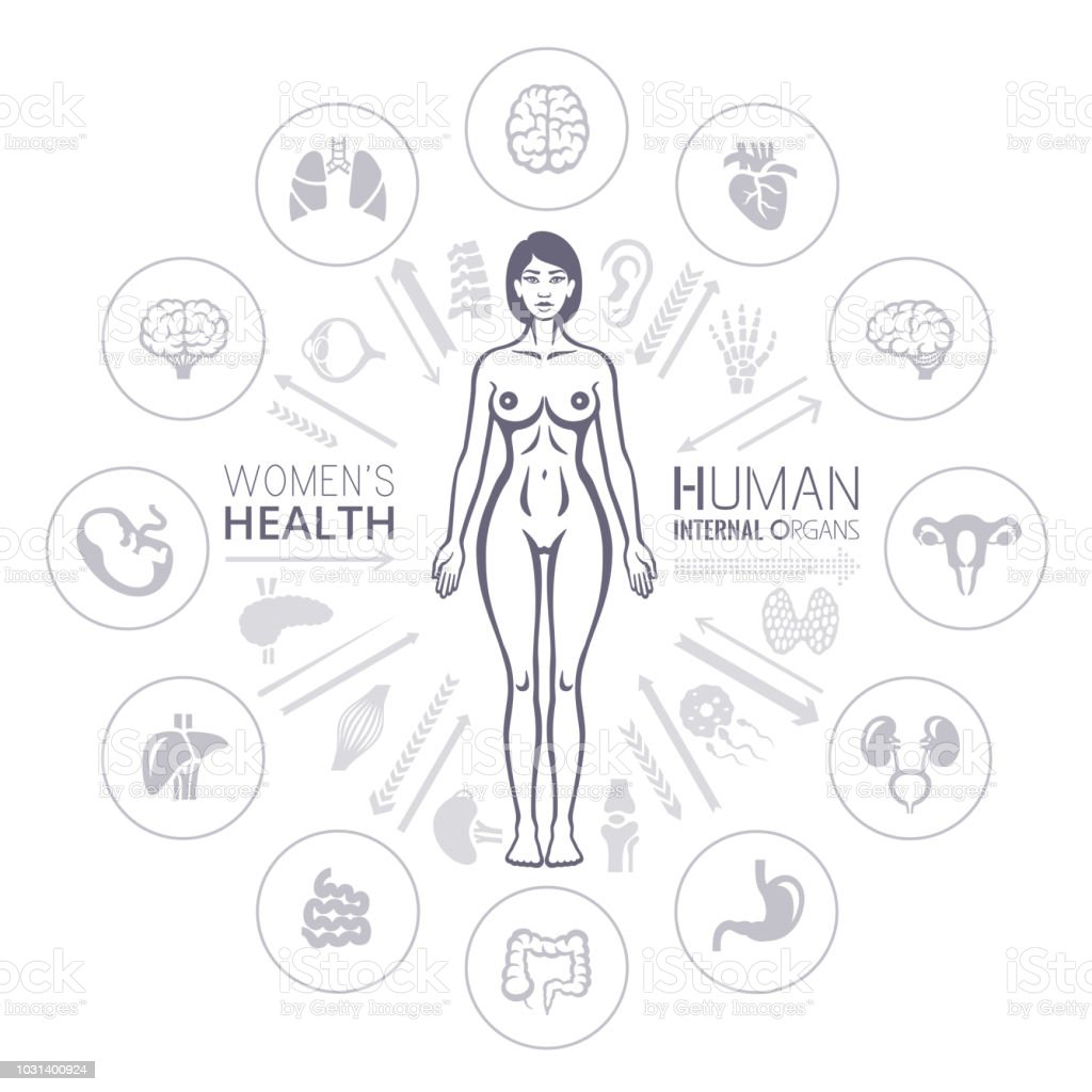 Human Female Body And Internal Organs Stock Vector Art More Images