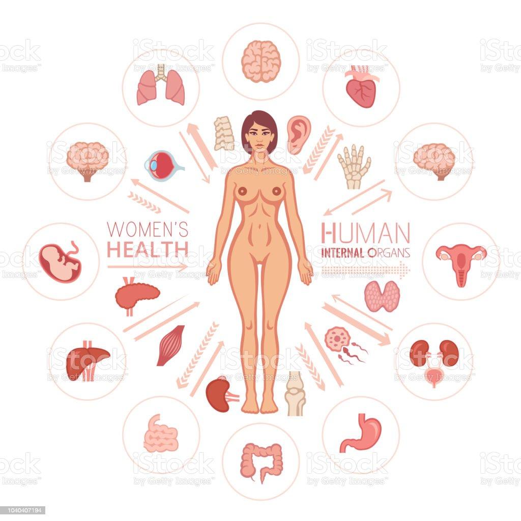 Ilustración de Cuerpo Humano Femenino Y órganos Internos y más banco ...