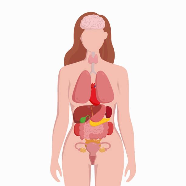 ilustraciones, imágenes clip art, dibujos animados e iconos de stock de cuerpo humano femenino con la ilustración de vector de órganos internos esquema plano infografía cartel. silueta de mujer con pulmones, corazón, tiroides, estómago, hígado, riñones, útero, intestino, páncreas, bazo. - órgano interno humano