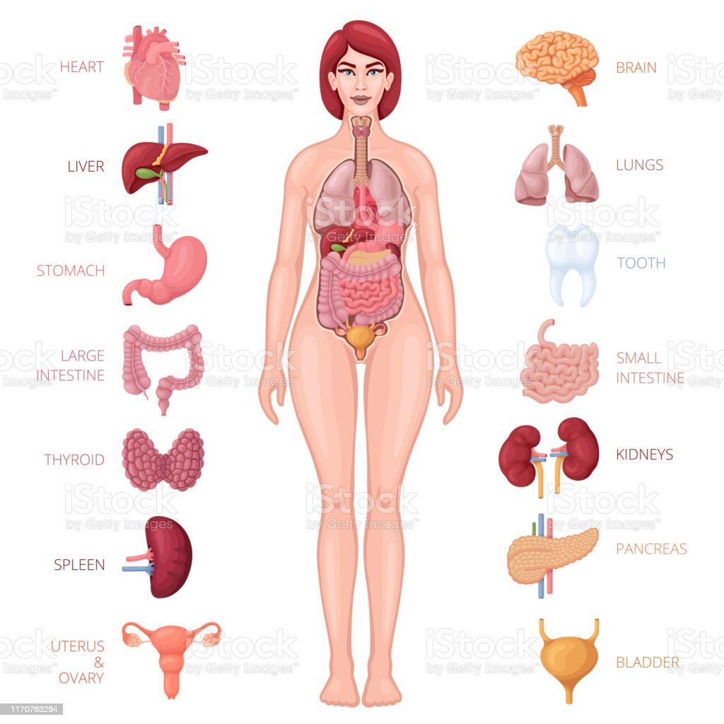 Verbazingwekkend Menselijk Vrouwelijk Lichaam Met Inwendige Organen UH-12