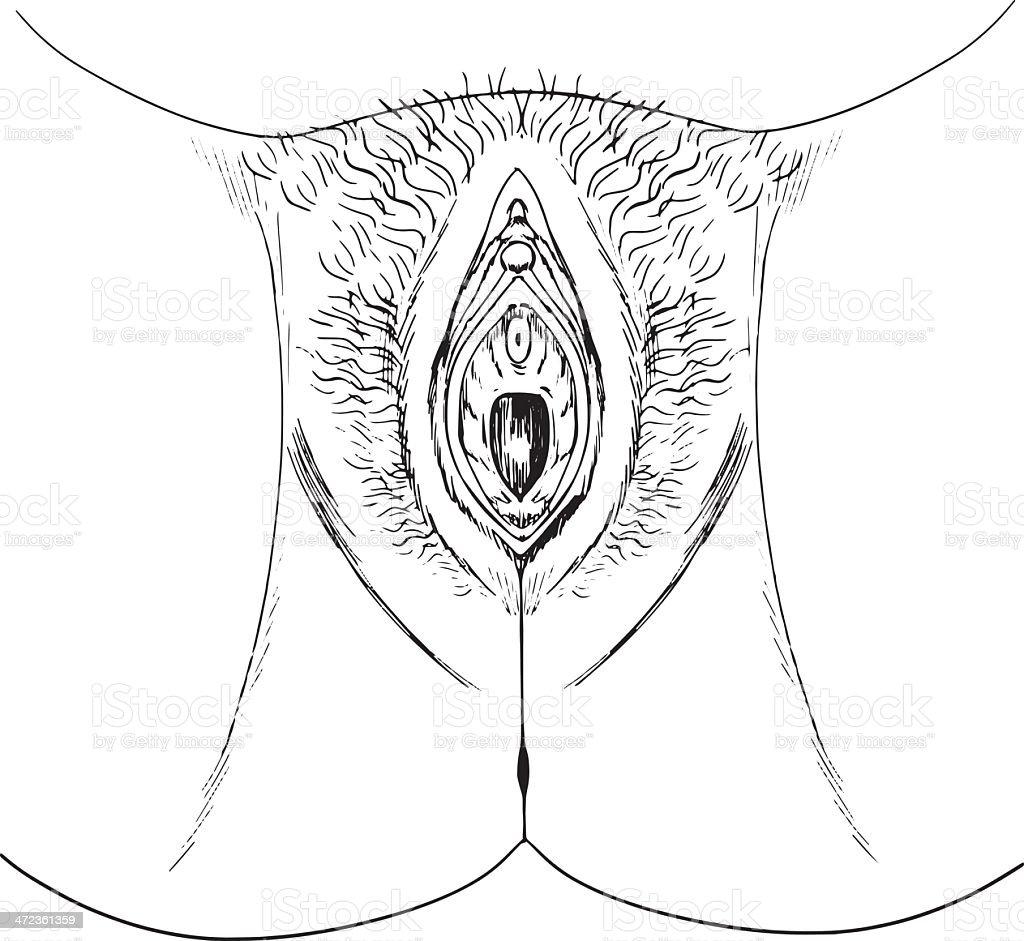 Human female genitalia outline (external) vector art illustration