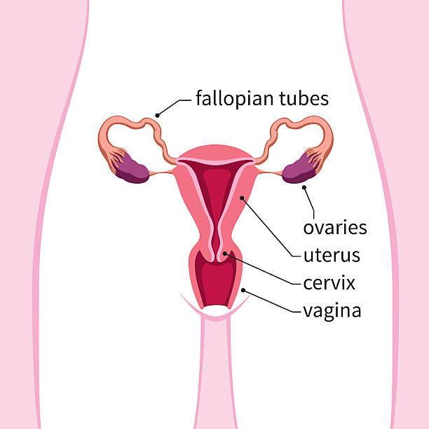 Royalty Free Female Reproductive System Clip Art, Vector Images ...