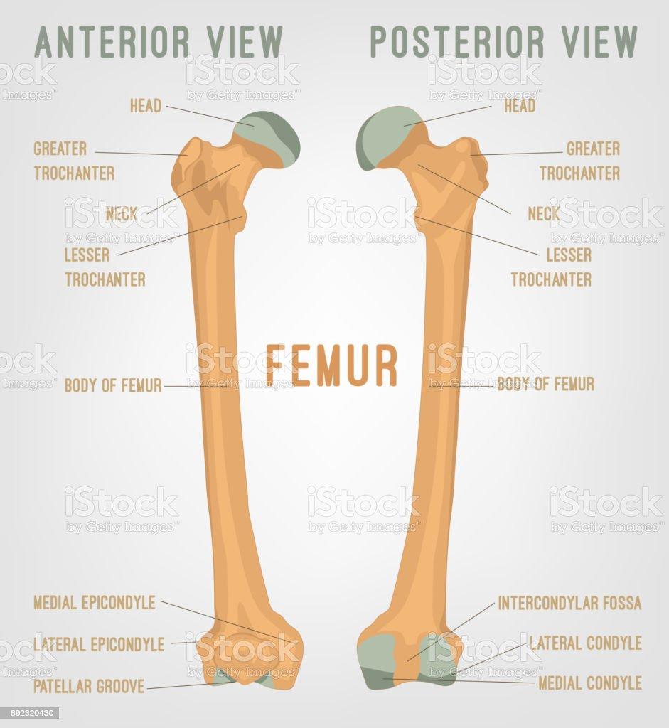 Human Femur Bones Stock Vector Art More Images Of Anatomy