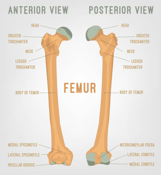 Royalty Free Femur Clip Art Vector Images Illustrations Istock